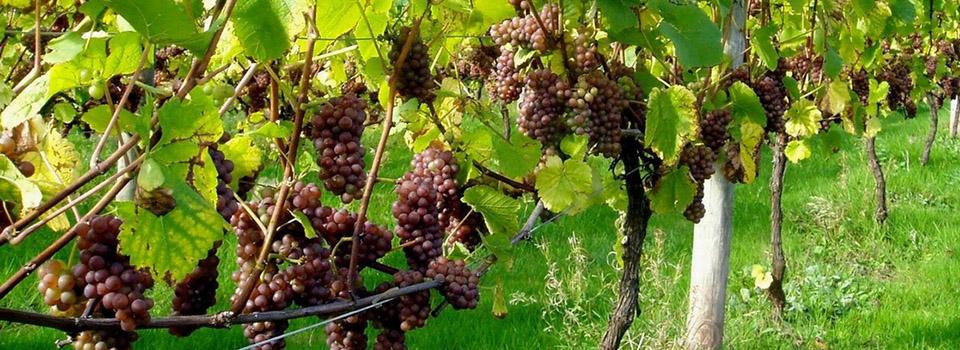 sjv-grapevines-slider